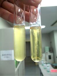 食品衛生学実験」vol.15 細菌の性質を学ぶ② ~運動性試験~【「食品 ...